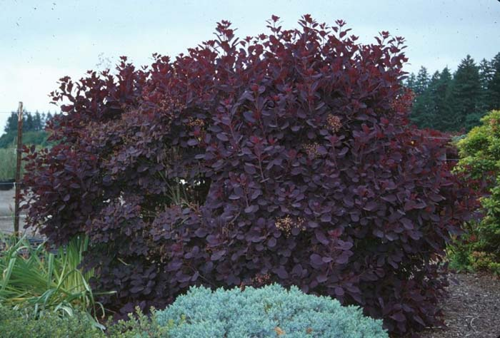 Plant photo of: Cotinus coggygria 'Royal Purple'