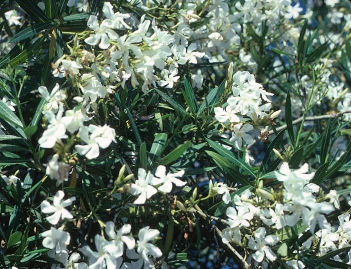 essay oleander white