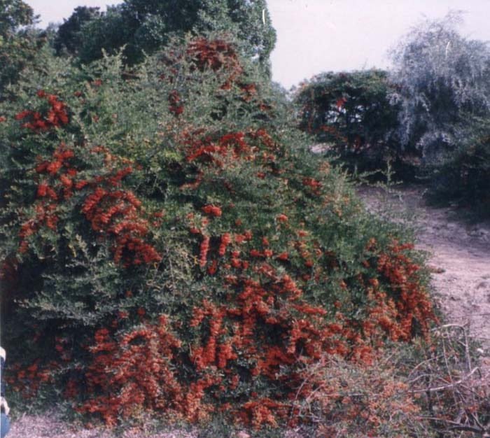 Plant photo of: Pyracantha coccinea 'Fiery Cascade'