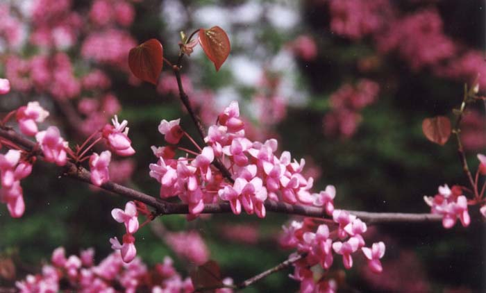 Plant photo of: Cercis canadensis