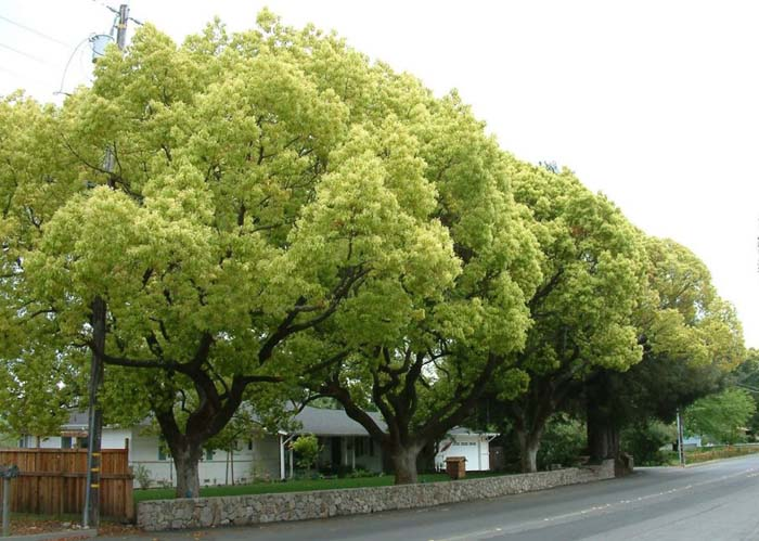 Cinnamomum camphora #
