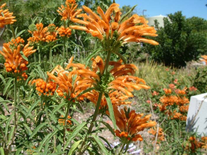 Plant photo of: Leonotis leonorus