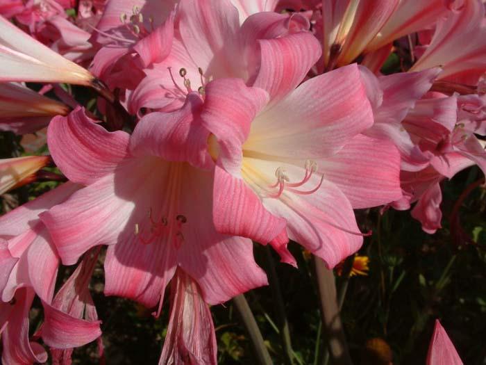 Amaryllis belladonna for Amaryllis bulbe conservation