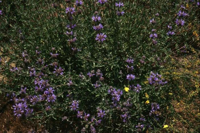 Plant photo of: Salvia clevelandii 'Aromas'