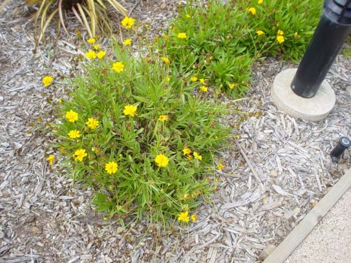 Plant photo of: Coreopsis grandilfora 'Goldfink'