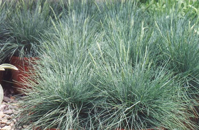 Plant photo of: Festuca glauca 'Elija Blue'