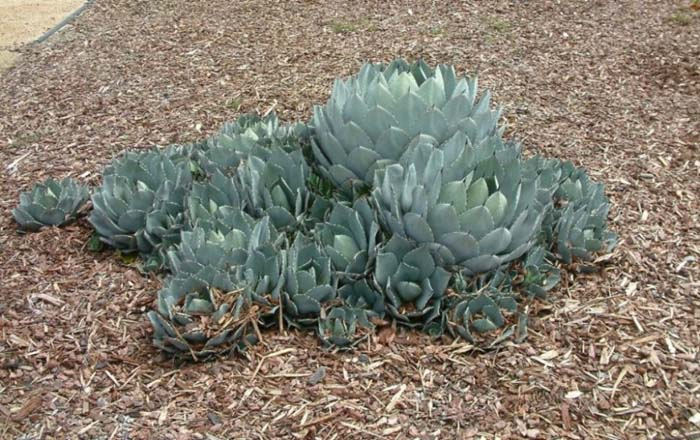 Plant photo of: Agave parryi v. huachucensis