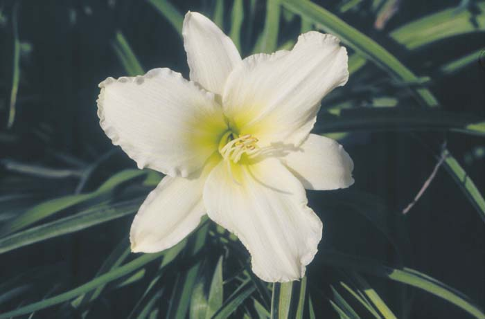 Plant photo of: Hemerocallis 'Lady Elizabeth'