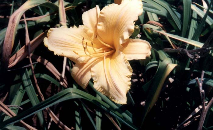 Plant photo of: Hemerocallis 'Bahia'