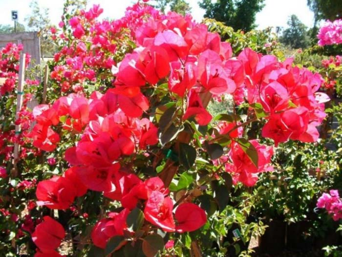 Plant photo of: Bougainvillea 'San Diego Red'