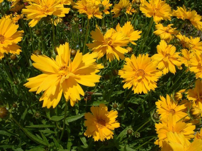 Plant photo of: Coreopsis grandiflora 'Double Sunburst'