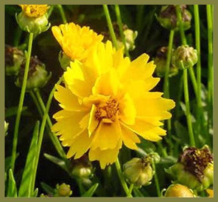 Plant photo of: Coreopsis grandiflora 'Early Sunrise'