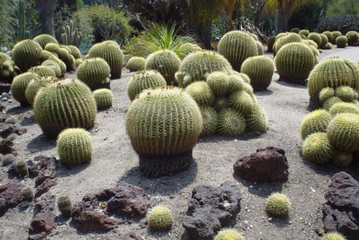 Plant photo of: Echinocactus grusonii