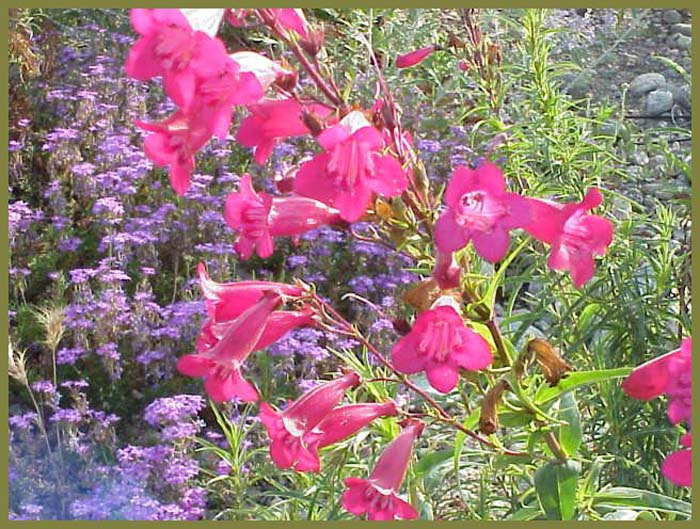 Plant photo of: Penstemon 'Garnet'