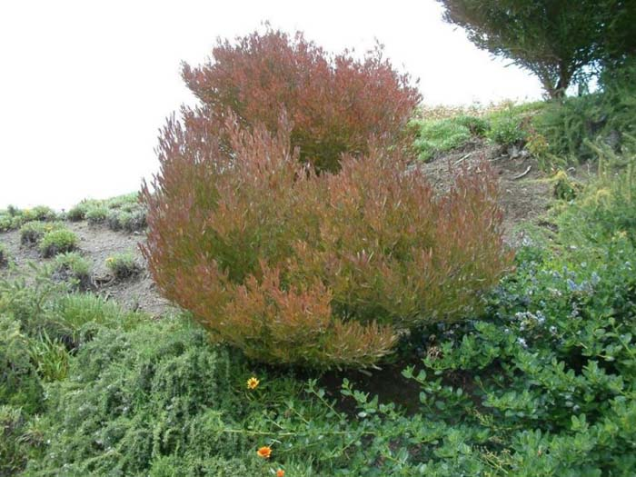 Plant photo of: Dodonaea viscosa 'Purpurea'