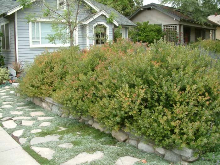 Plant photo of: Arctostaphylos 'Sunset'