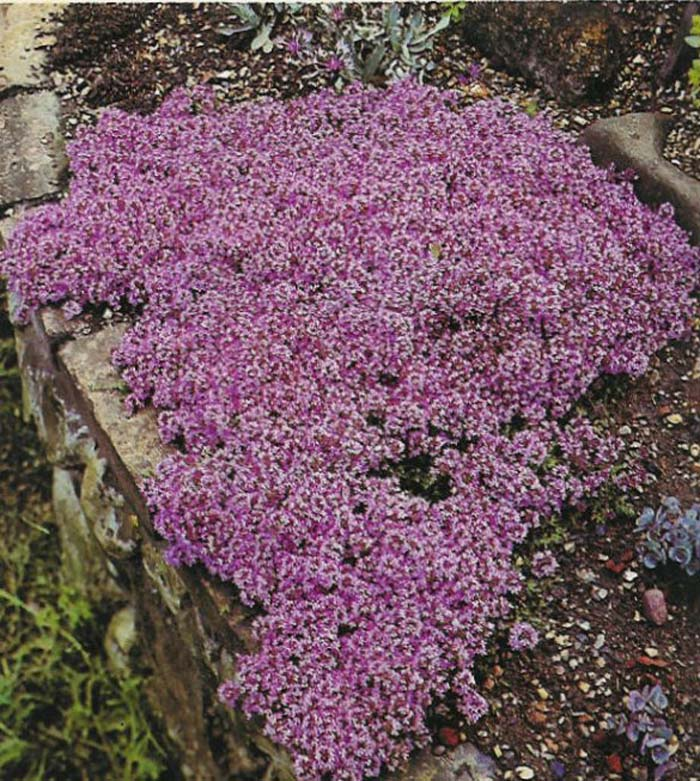 Plant photo of: Thymus serpyllum