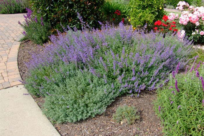 Plant photo of: Nepeta X faassenii