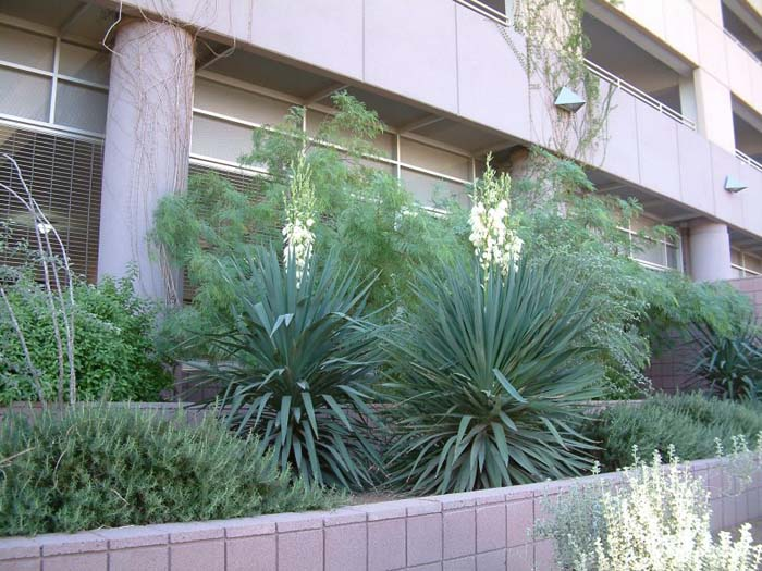Plant photo of: Yucca baccata