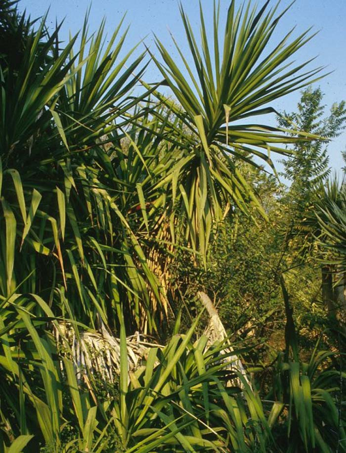 Plant photo of: Yucca elephantipes