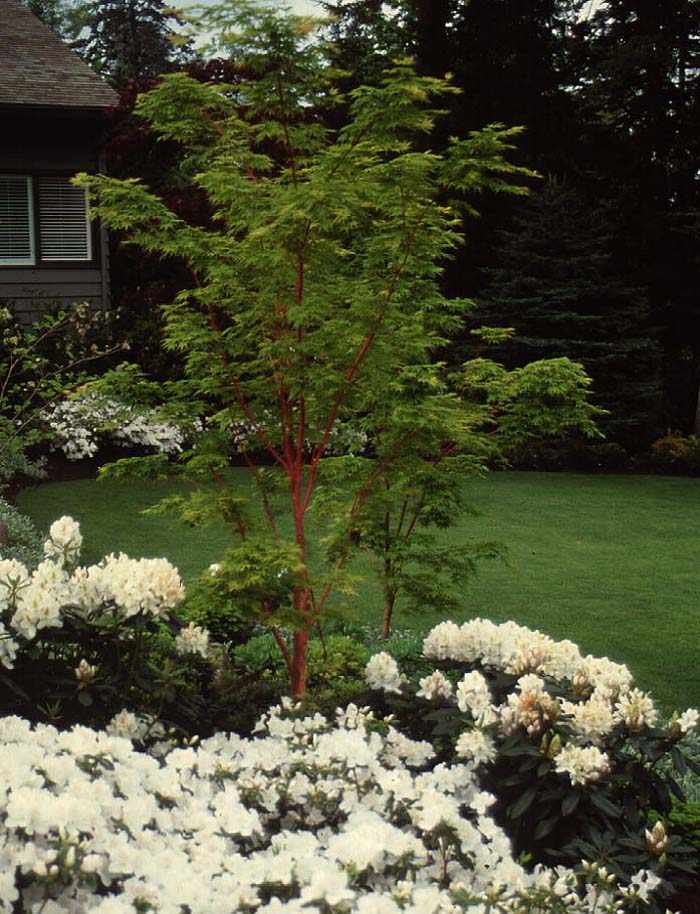 24560a Coral Bark Maple