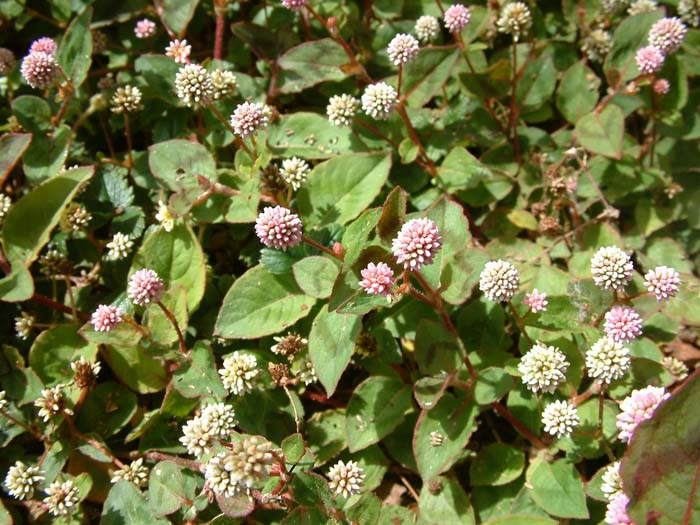 Plant photo of: Persicaria capitata