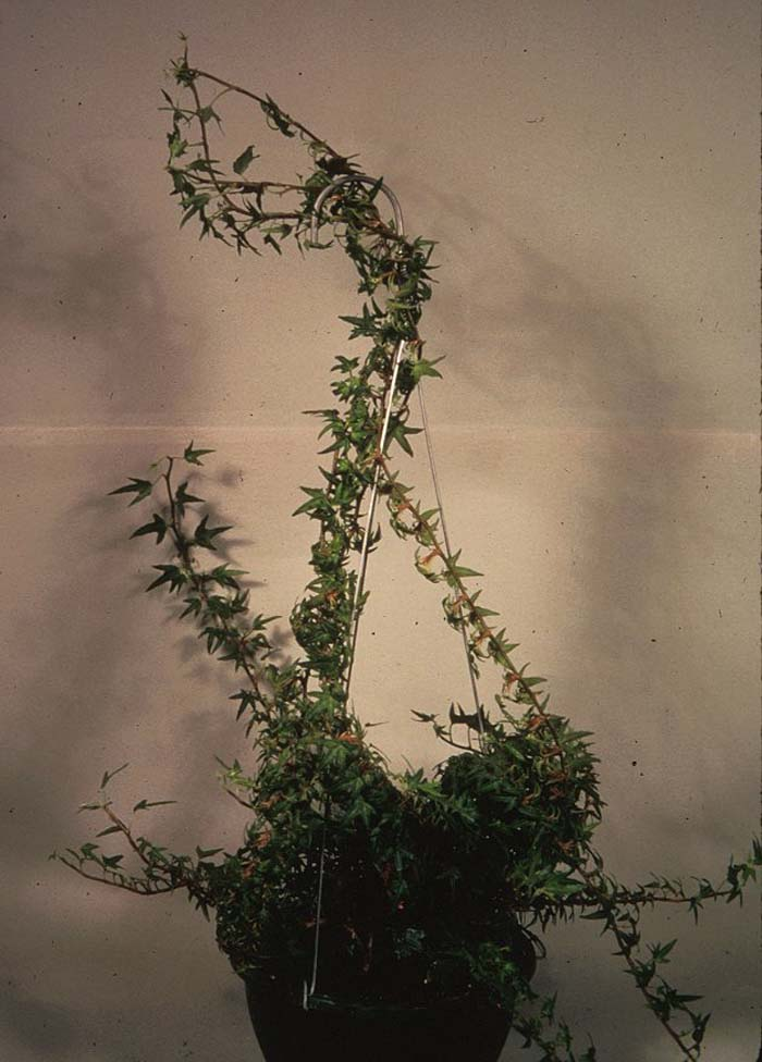 Plant photo of: Hedera helix 'Needlepoint'