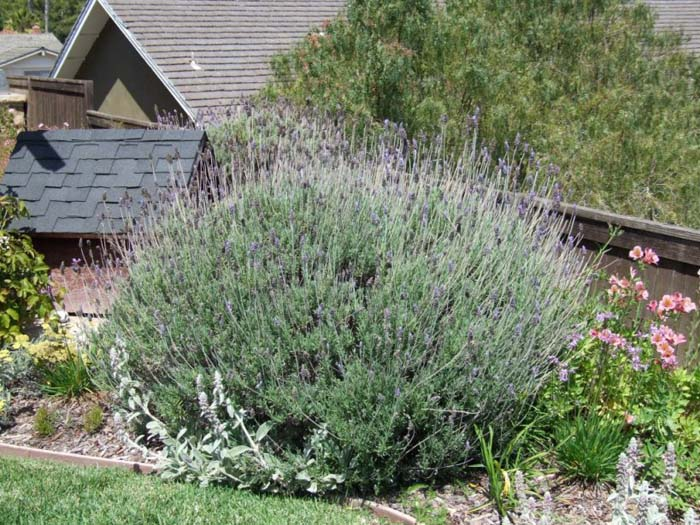 Plant photo of: Lavandula angustifolia 'Hidcote'