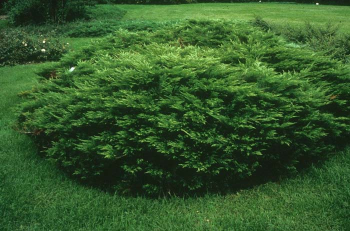 Plant photo of: Juniperus sabina 'Arcadia'
