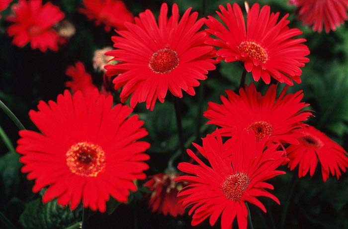 Plant photo of: Gerbera jamesonii