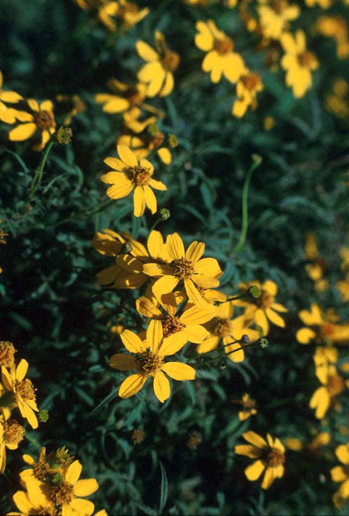Plant photo of: Coreopsis tinctoria