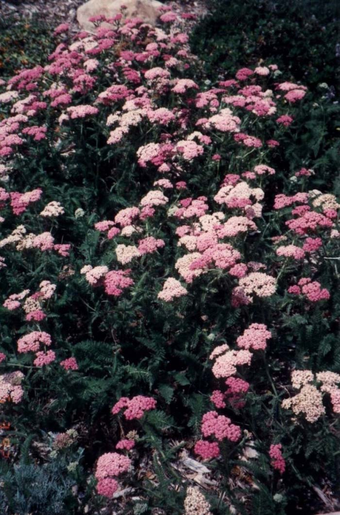 Plant photo of: Achillea millefolium rosea