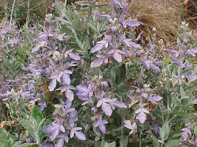 Azurea Bush Germander