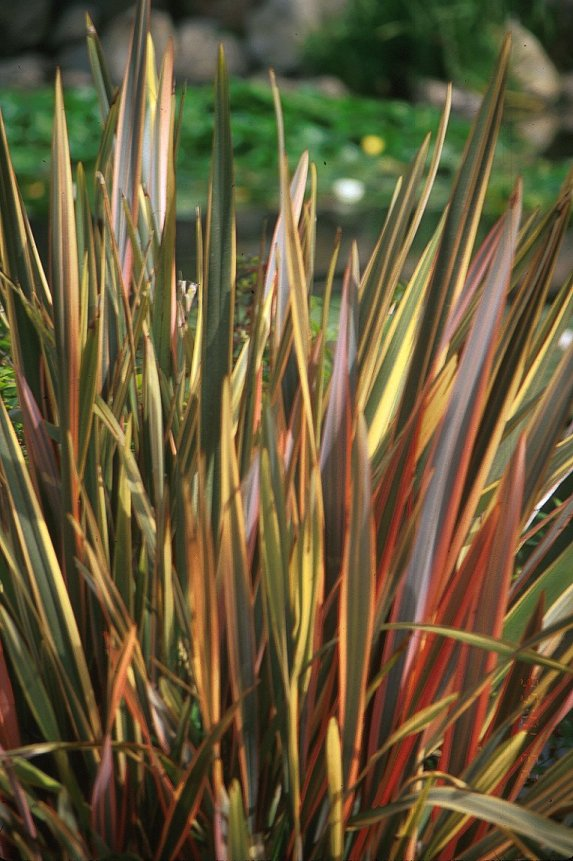Rainbow Warrior New Zealand Flax