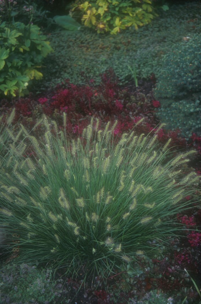 Little Bunny Fountain Grass