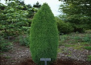 Juniperus communis 'Compressa''
