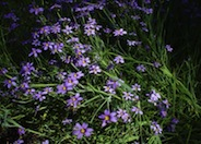 Blue-Eyed Grass