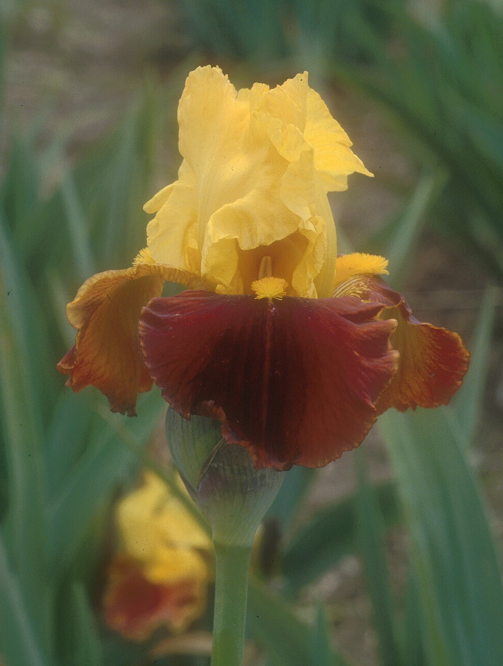 Iris bearded 'All That Jazz'