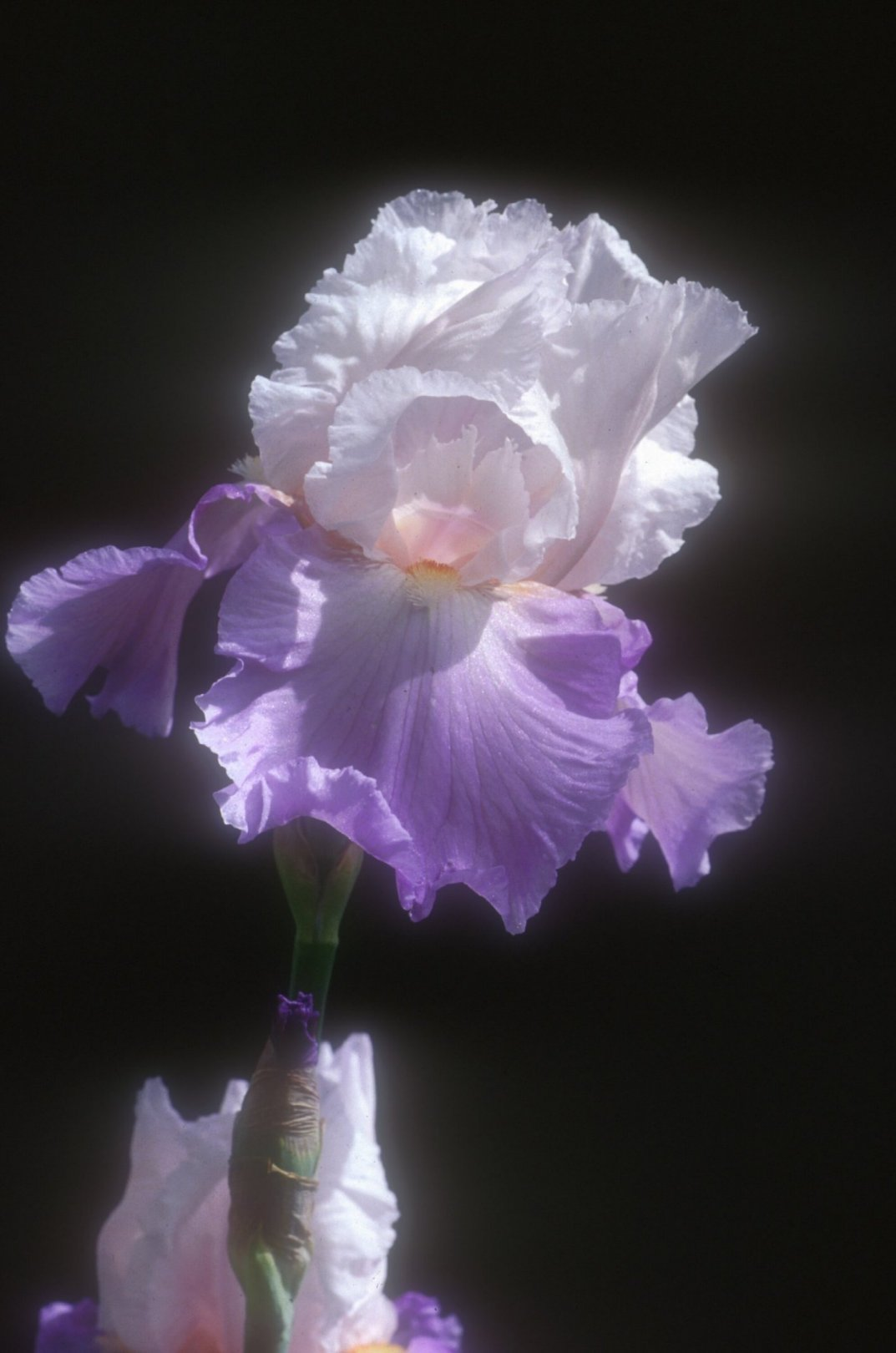 Iris bearded 'Mountain Violet'