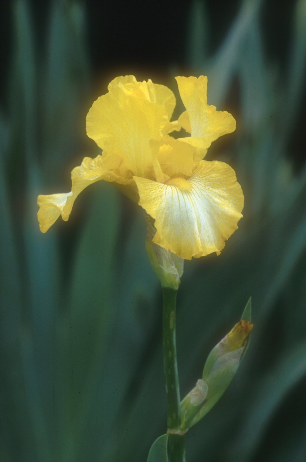 Iris bearded 'Light Beam'