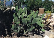 Indian Fig Prickly Pear