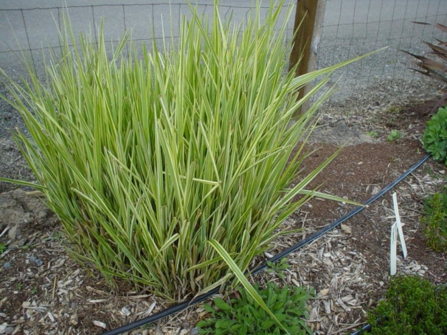 Ornamental grasses clumping plants for Common ornamental grasses