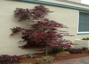 Ribbonleaf Purple Japanese Maple