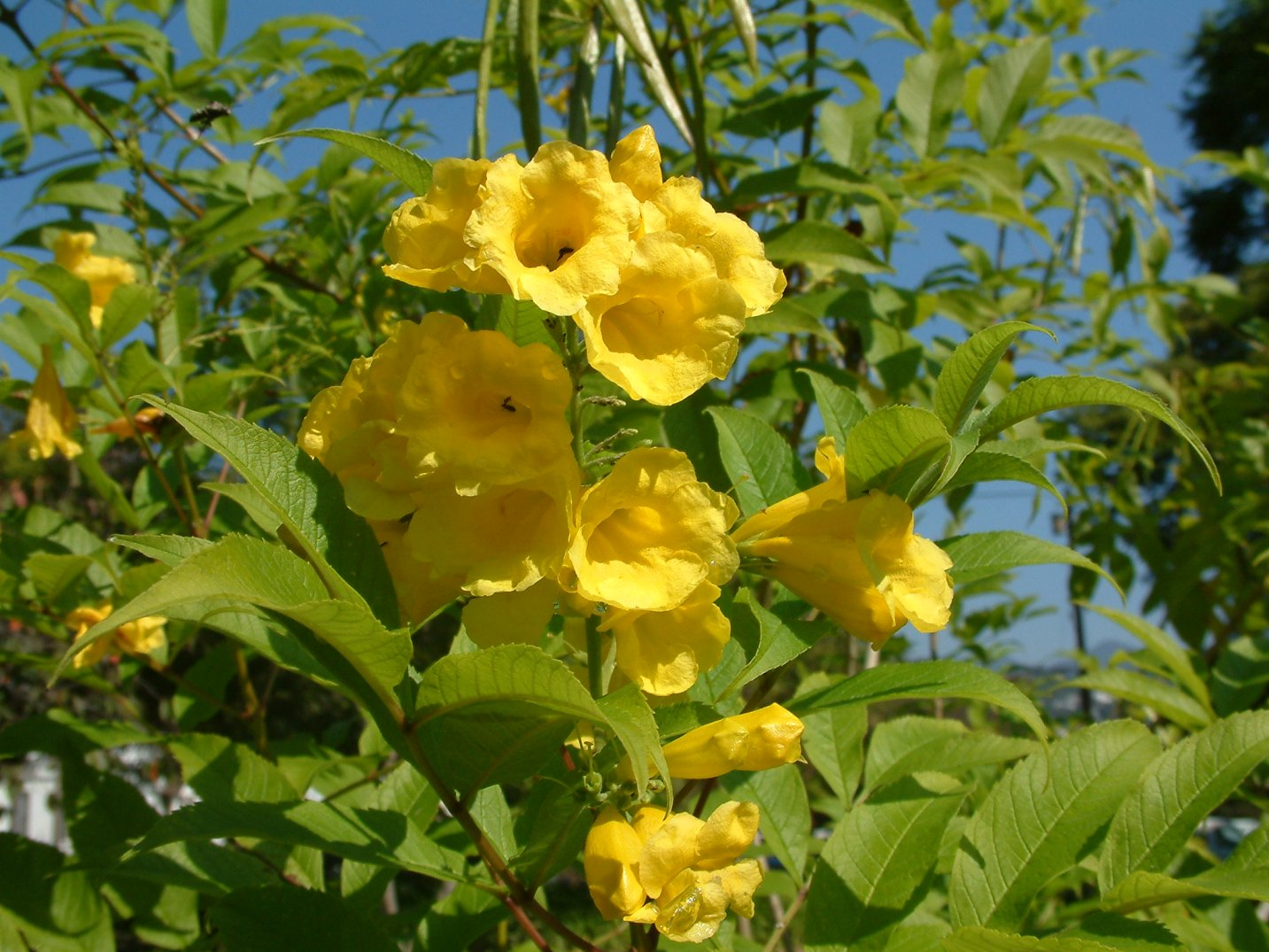 Yellow Bells, Yellow Elder