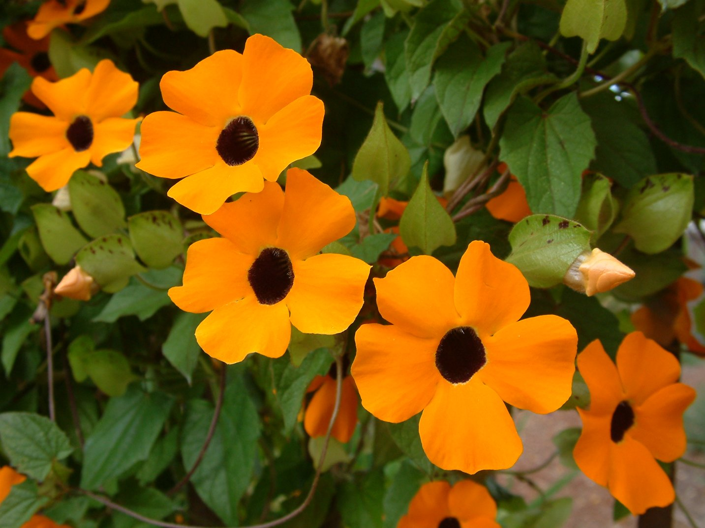 Black- Eyed Susan Vine