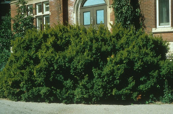 Upright Japanese Yew