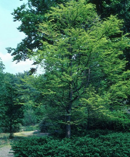 Bald Cypress, Swamp Cypress