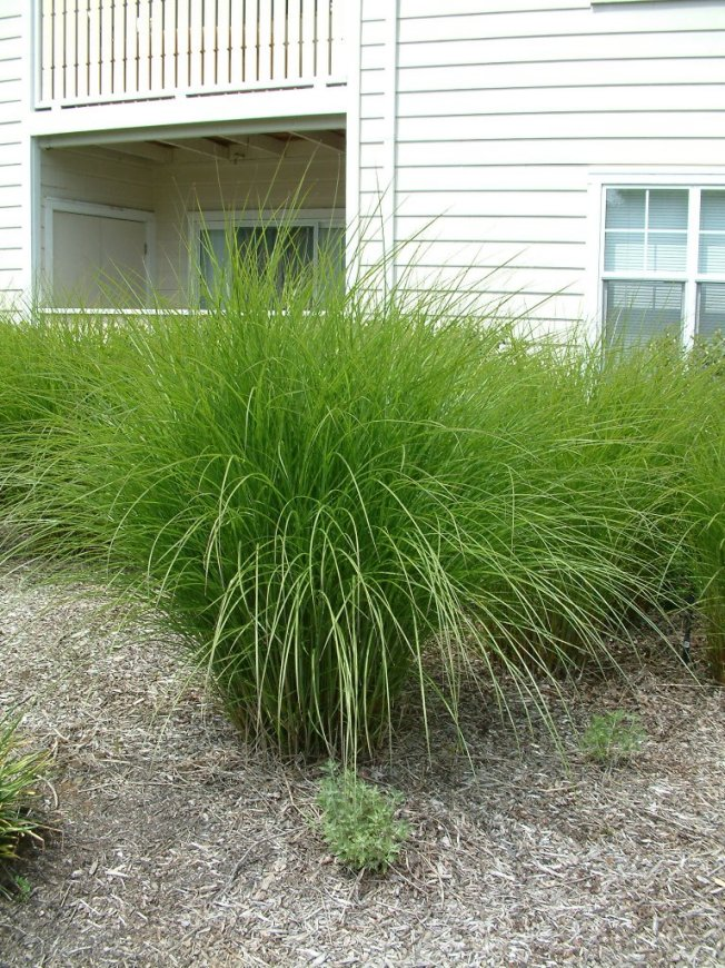 Drama with grasses for Maiden fountain grass