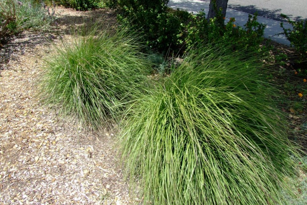 Ornamental grasses clumping plants for Giant ornamental grass